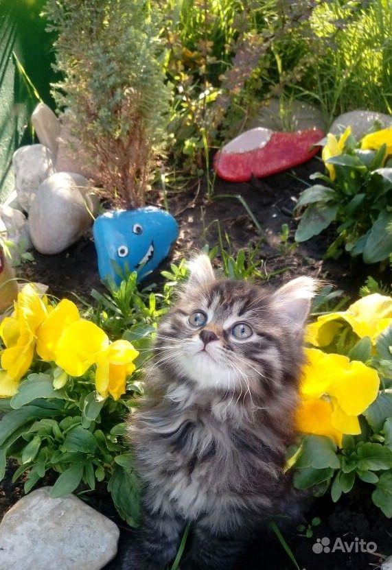 Продам котенка. Краснодарский край,  Краснодар