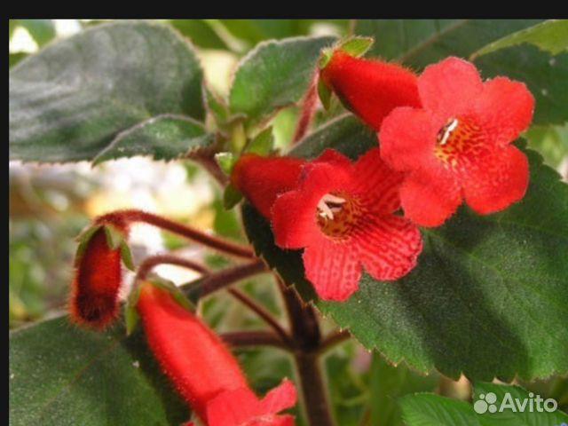 Цветок пульхерия