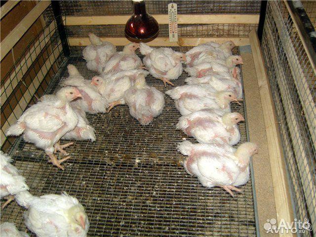 Цыплята - бройлеры - купить, продать или отдать в Тамбовской области на Avito - Объявления на сайте Avito