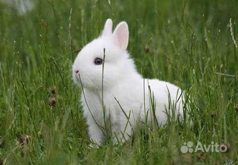 Карликовые декоративные кролики от заводчика в Москве - фотография № 2