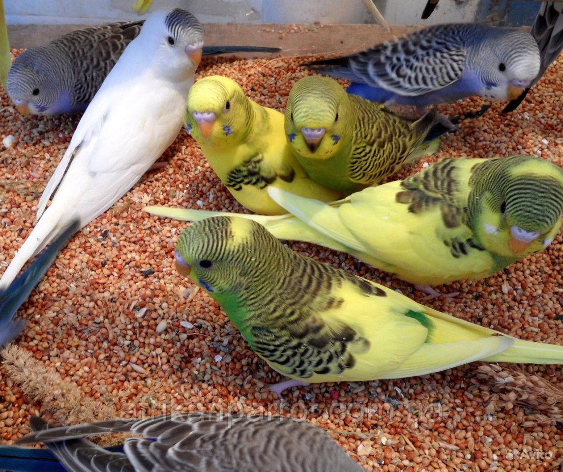 настоящее время расцветки волнистых попугайчиков фото немного