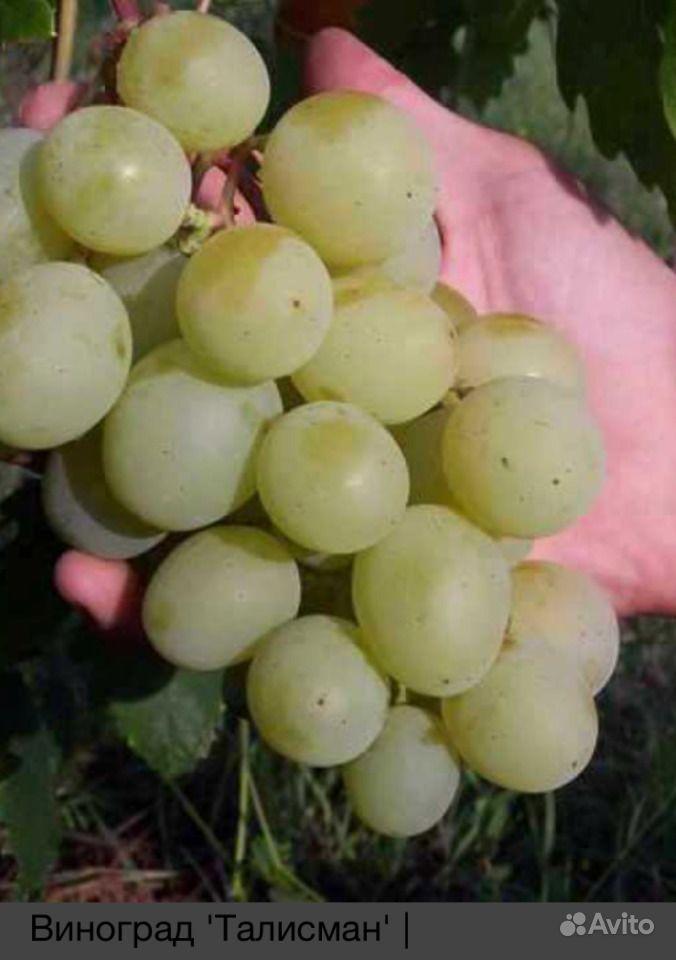 Саженцы винограда лучших сортов купить на Зозу.ру - фотография № 5