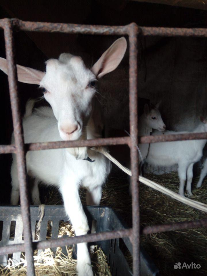 Продается молочная коза