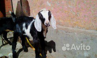 Кастрирую,уберу рога козам,козлятам в Шахтах - фотография № 1