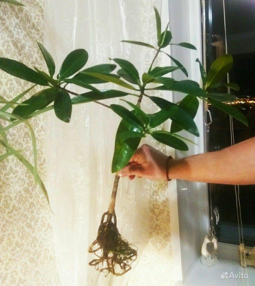 Комнатный цветок купить на Зозу.ру - фотография № 6