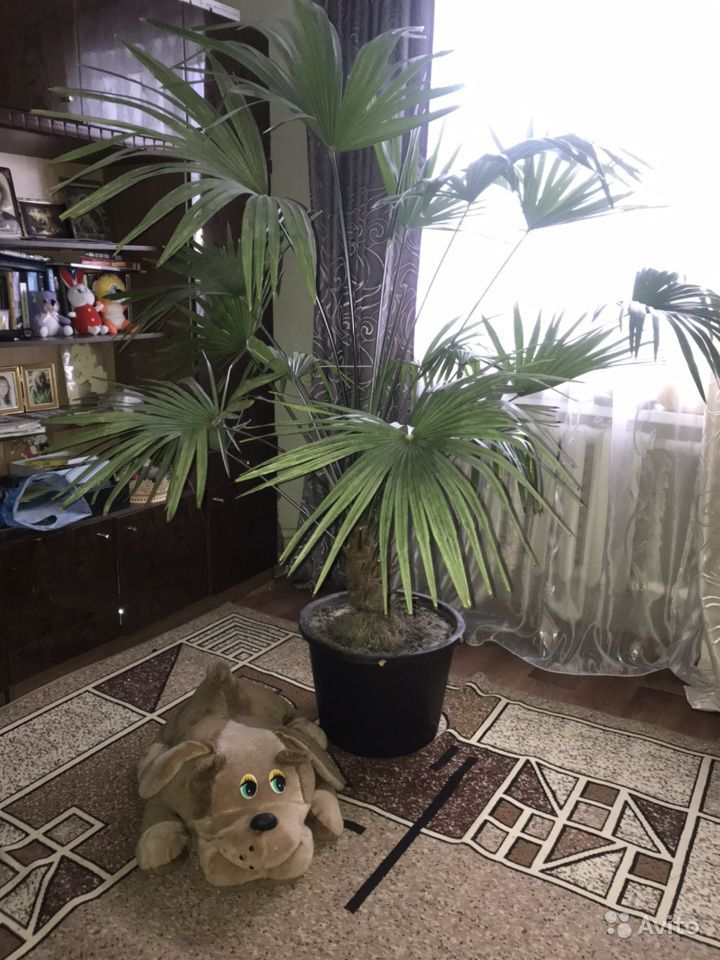Пальма купить на Зозу.ру - фотография № 1