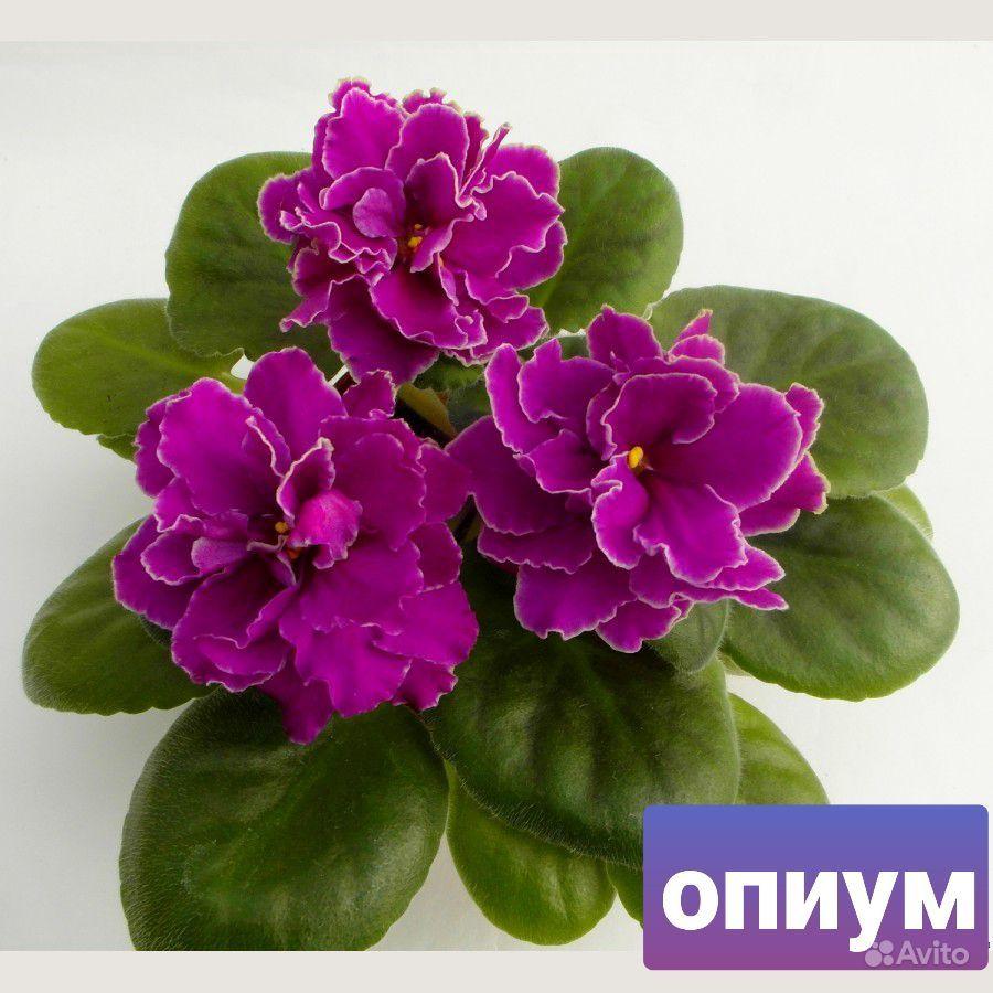 Фиалка купить на Зозу.ру - фотография № 5