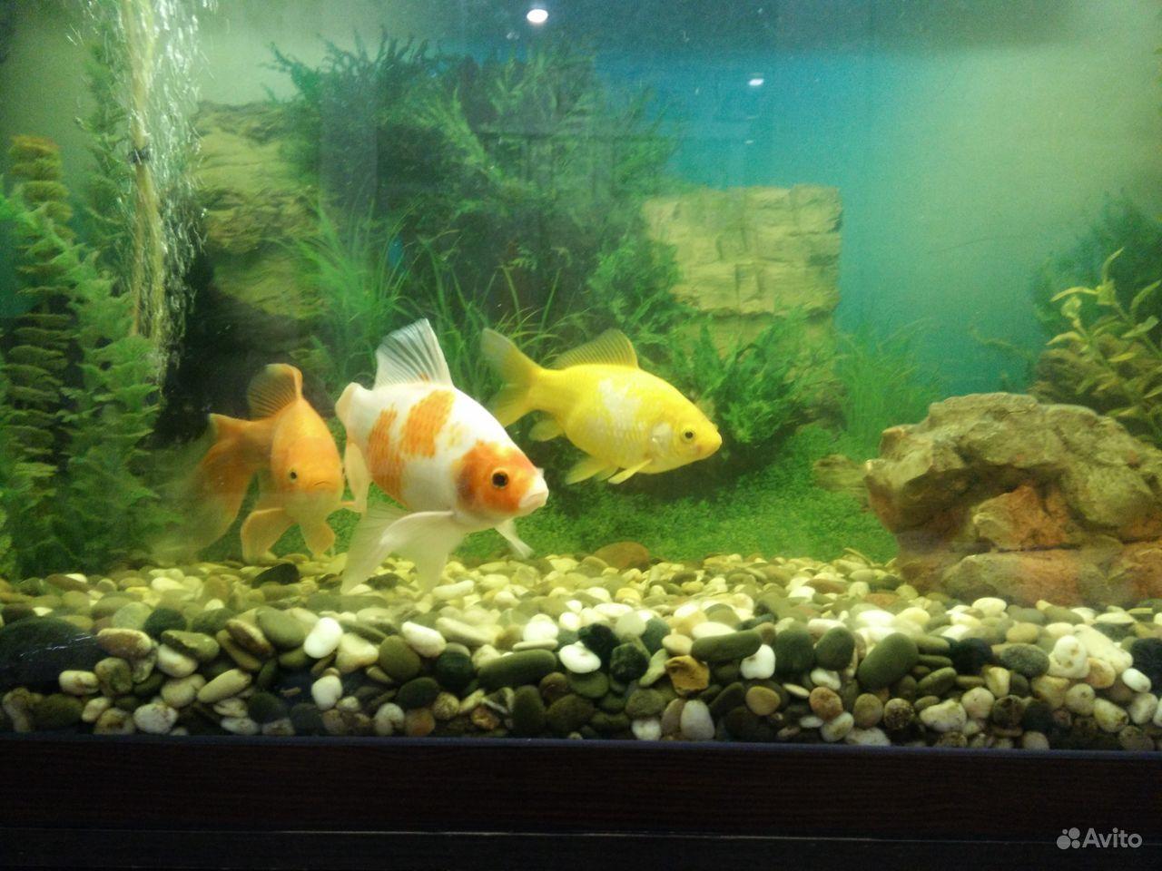 Коллекционные золотые рыбки купить на Зозу.ру - фотография № 2