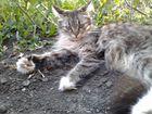 Отдам котят Мейн-кун в добрые руки