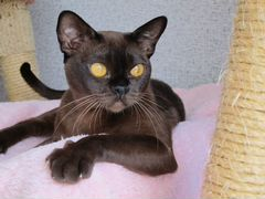 Кошки и котята породы Бурманская - купить из питомников и ...