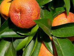 Клементин рубино мандарин амоа8