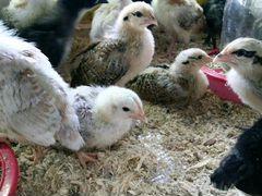 Индюшата, цыплята бройлера