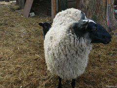 Продам овцу романовской породы взрослую