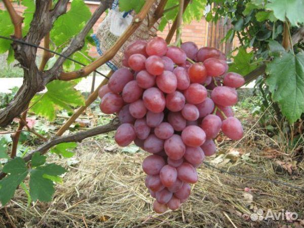 Продажа черенков винограда на авито частные объявления вахта камчатка вакансии свежие