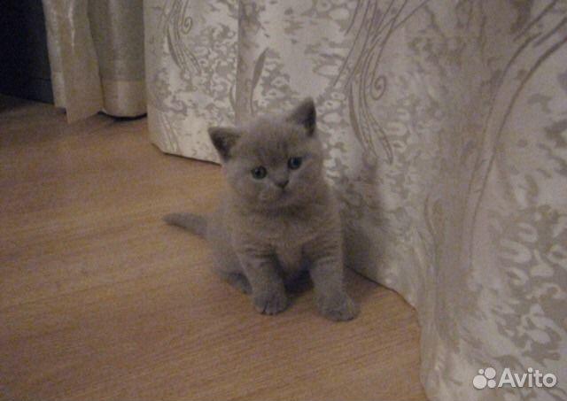 Характер и поведение британской кошки