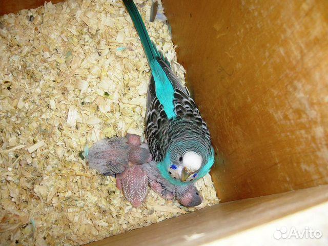 Развитие птенца волнистого попугая