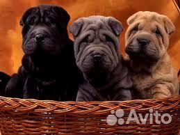 продам щенок шарпей петропавловск-камчатский