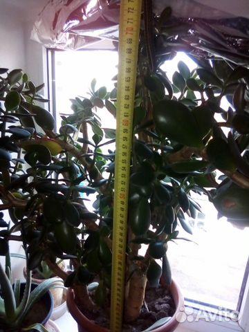 Толстянка (денежное дерево) 89615422677 купить 8