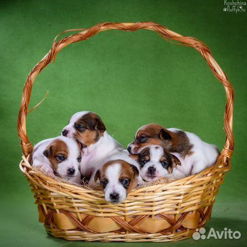 Джек Рассел терьера щенки купить на Зозу.ру - фотография № 2