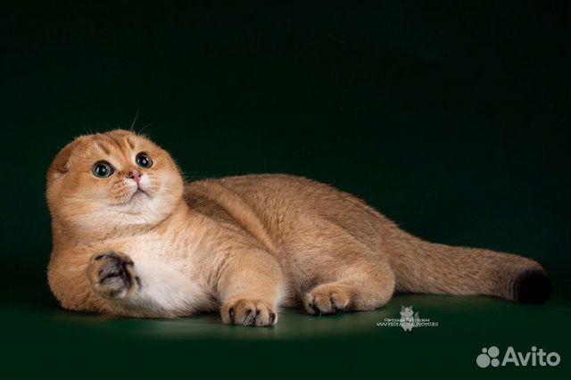 Шотландский племенной кот вязка купить 2