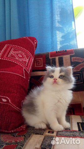 Котенок  89080018997 купить 2