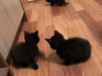 Отдам 3-х чёрных котят