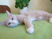 Персик, 4 мес — Кошки в Геленджике