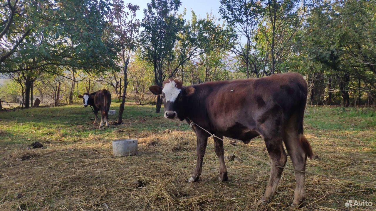 Корова телка теленок  89285255155 купить 4