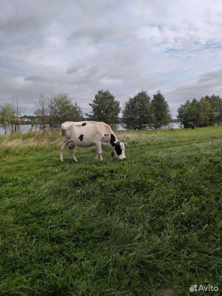 Корова  89092712355 купить 2