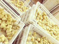 Курица. Цыплята бройлера kopp-500