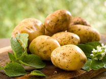 Картофель крупный ручной копки