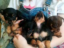 Очаровательные щенки той-терьер
