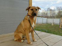 Красивая молодая собачка Плюша в добрые руки