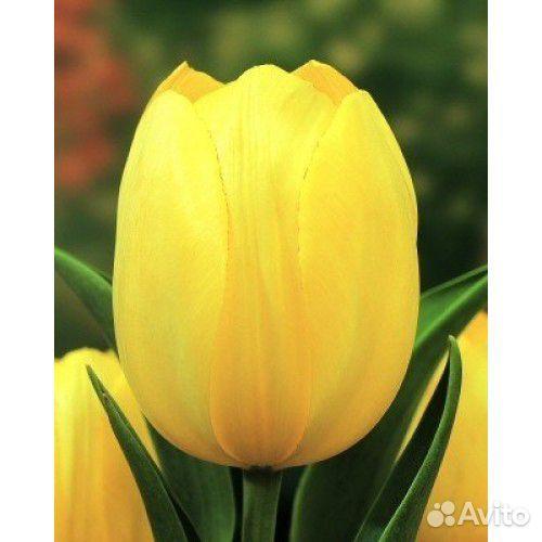 Тюльпаны  89092263980 купить 8