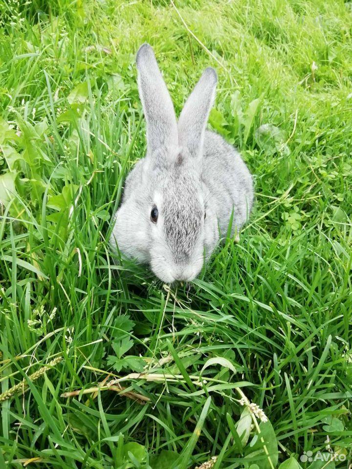 Кролики  89997865033 купить 4