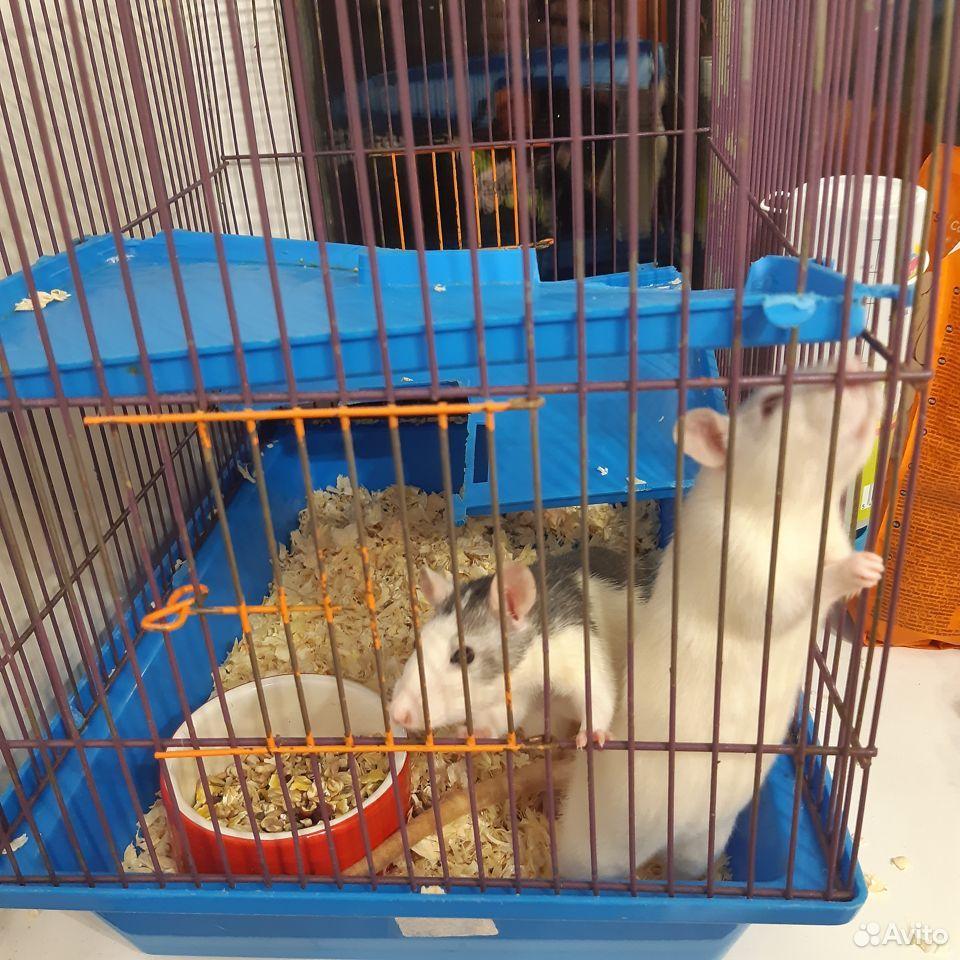 Крысы дамбо  89059174868 купить 1