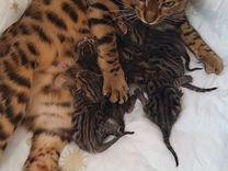Бенгальские котята — Кошки в Геленджике