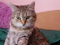 Стерилизванная кошка в добрые руки