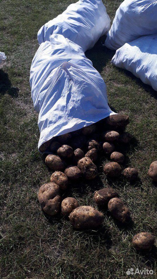 Potatoes  89836314279 buy 1